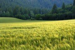 Forêt de pin en montagnes de région sauvage avec l'agriculture de champ de grain Photo libre de droits