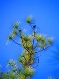 Forêt de pin et ciel bleu Photo stock