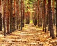 Forêt de pin et un chemin forestier Photographie stock libre de droits