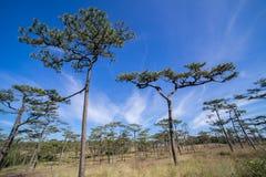 Forêt de pin de Kesiya dans le temps de matin de ciel bleu et de nuage de lever de soleil images libres de droits