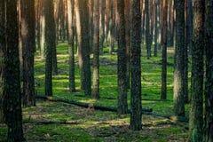 Forêt de pin le matin Photos stock