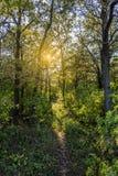 Forêt de pin pendant l'été Image libre de droits