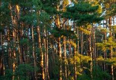 Forêt de pin pendant le début de la matinée Photo stock