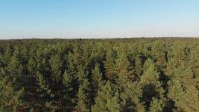 Forêt de pin, vue aérienne avec le bourdon Vue supérieure en parc en bois de pin banque de vidéos