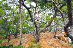 Forêt de pins Image libre de droits