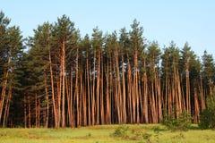 Forêt de pins Photographie stock