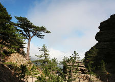 Forêt de pins Images stock