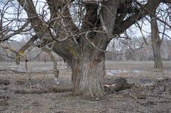 Forêt de propagation de saule au printemps Image stock