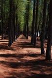 Forêt de queue de cheval en bois de fer Photo stock