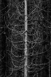 Forêt de région sauvage de membres et de branches de pins image libre de droits