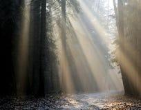Forêt de rayons de soleil en novembre Photos stock