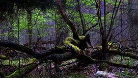 Forêt de ressort Photos libres de droits