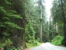 Forêt de séquoia Image libre de droits