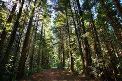 Forêt de séquoia photographie stock