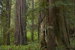 Forêt de séquoia de Californie Photographie stock libre de droits