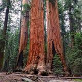 Forêt de séquoia géant en parc national de séquoia Images stock