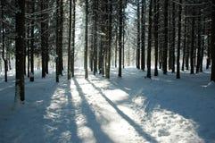 Forêt de sapin Photographie stock