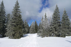 Forêt de sapin d'hiver Photo libre de droits