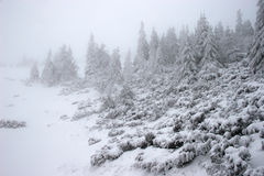 Forêt de sapin de l'hiver dans une tempête de neige Image libre de droits