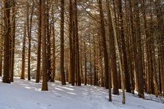 Forêt de sapin de rouan Photographie stock libre de droits