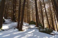 Forêt de sapin de rouan Image stock