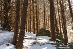 Forêt de sapin de rouan Photos stock
