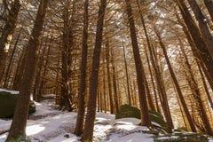 Forêt de sapin de rouan Images stock