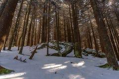 Forêt de sapin de rouan Images libres de droits