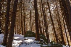 Forêt de sapin de rouan Photographie stock