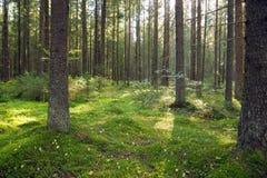 Forêt de sapin pendant le matin de début de l'été, mousse au sol, jeunes arbres de Noël photos stock
