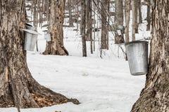 Forêt de seaux de sève d'érable sur des arbres Photographie stock libre de droits