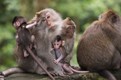 Forêt de singe dans Ubud, Bali Photographie stock