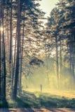 Forêt de soirée avec le soleil et la lumière Photo libre de droits