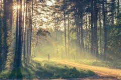 Forêt de soirée avec le soleil et la lumière Photo stock