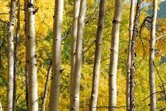 forêt de tremble photo stock