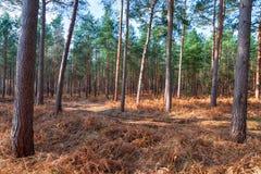 Forêt de Tunstall en le Suffolk photos stock