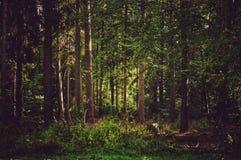 Forêt dense avec des arbres de conifère Photo stock