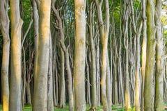 Forêt dense d'arbre de hêtre photo libre de droits