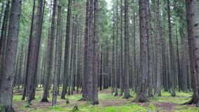 Forêt dense de pin avec le sort d'arbres banque de vidéos