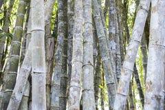 Forêt en bambou, bois en bambou naturel Photo stock
