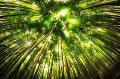 Forêt en bambou dans le gochang Image libre de droits