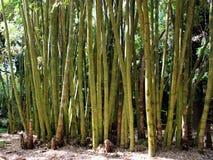 Forêt en bambou dans le jardin botanique sur l'île de San Miguel Image libre de droits