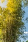 Forêt en bambou, fond en bambou au soleil et ciel bleu Image libre de droits