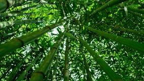 Forêt en bambou 4K banque de vidéos