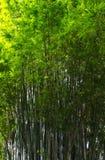 Forêt en bambou, la Floride Photos libres de droits