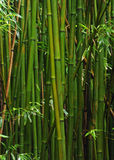 Forêt en bambou, Maui, Hawaï image libre de droits