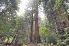 Forêt en bois rouge Photos stock