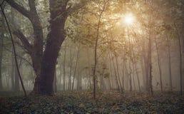 Forêt en brouillard image stock