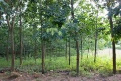 Forêt en caoutchouc dans Son La, Vietnam Image libre de droits