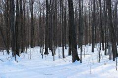 Forêt en hiver avec la neige Photo libre de droits